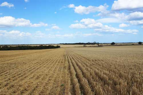 Cattle will graze on the barley stubble after harvest