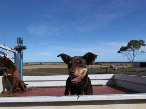 Meita the Kelpie Pup