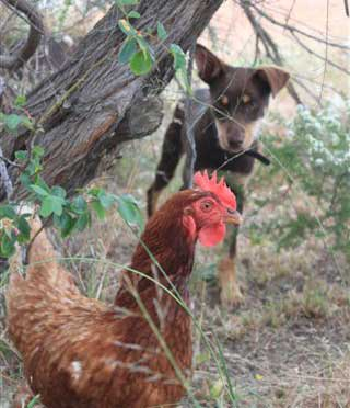 Meita and the chooks
