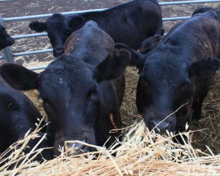 weaned calves