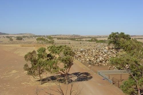 AQIS Quarantine Sheep Depot
