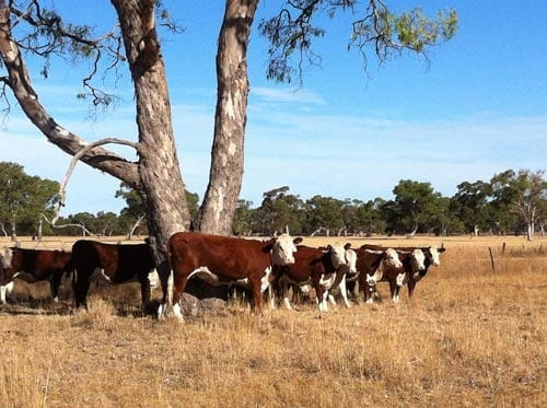 Poll Hereford cattle at Lucindale South Australia