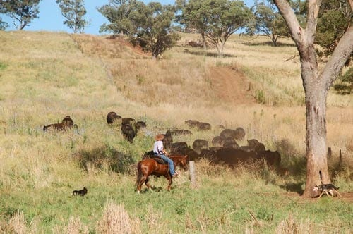 Grahame Edwards mustering on horseback