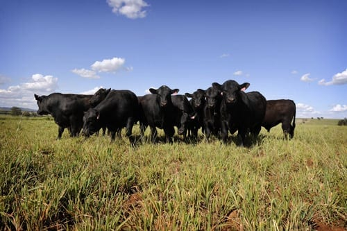 Triple A Angus stud Somerton NSW
