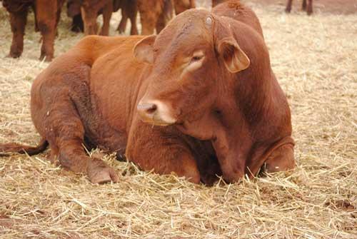 Droughmaster bull, Ned's Creek Station