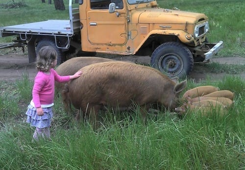 Greenvale pigs