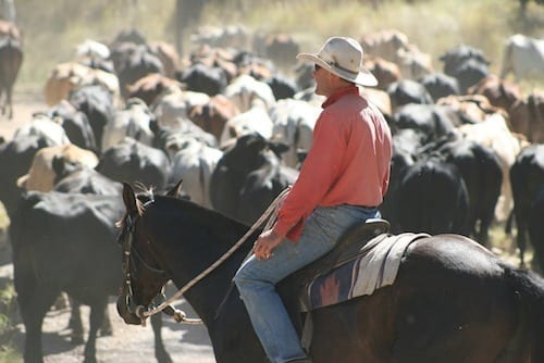 Rob McArthur mustering cattle on his Central Queensland Coast property