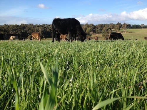 Cattle grazing at Blackwood Valley, Boyup Brook