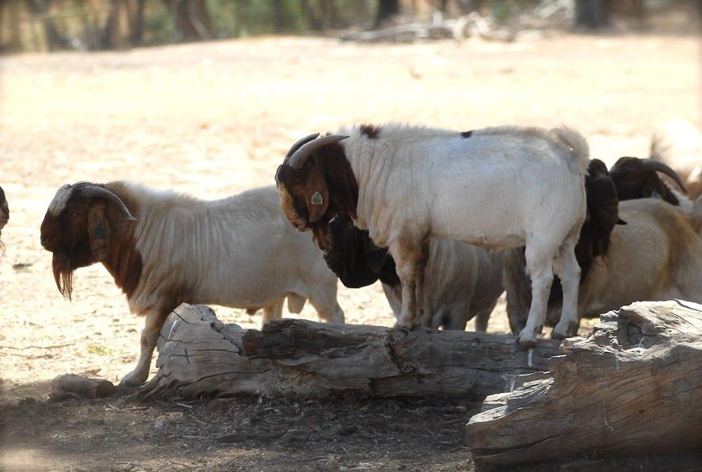 Goats at Seven Hills, Tallarook