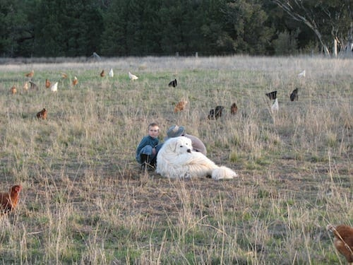 Maremma Guardian Dogs watch over Brigadoon Harvest