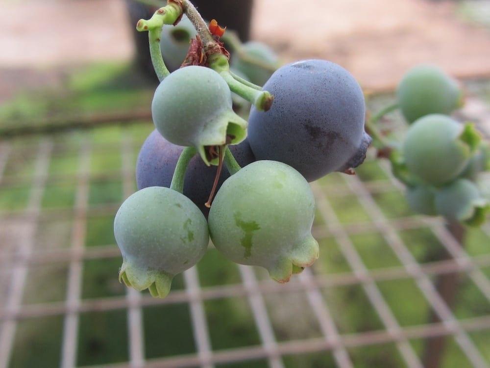 Mountain Blue Blueberries