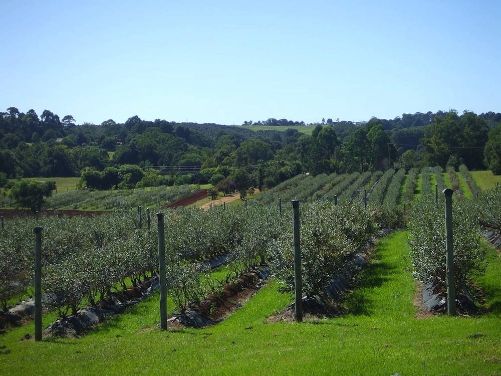 Mountain Blue Blueberry Orchard at Lismore, NSW