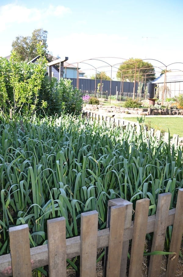 Greendoor garlic