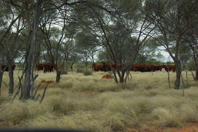 Bernadette Walker cattle