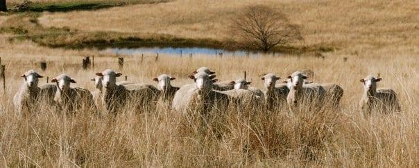 Farmer George Dohne sheep