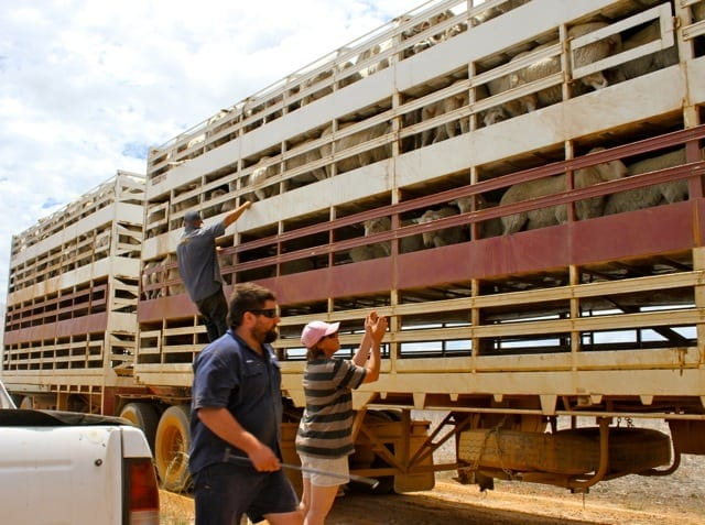 unloading sheep