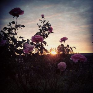 Sunrise through the roses