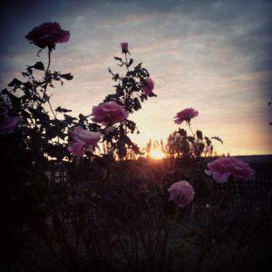 Sunrise through the roses