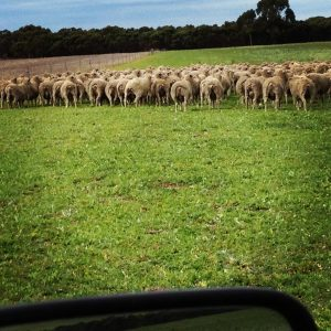 Shifting heavily pregnant ewes to greener pastures