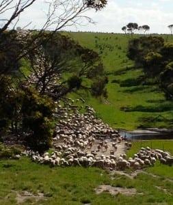 shifting sheep