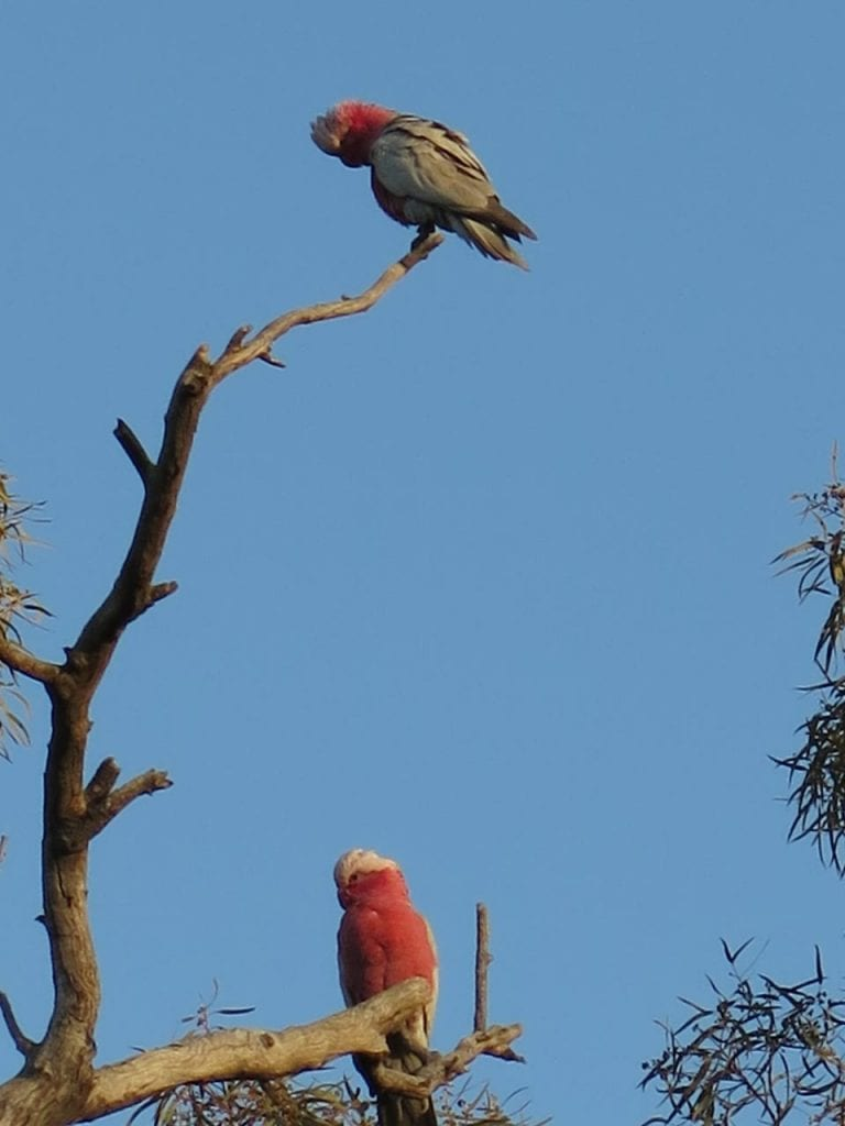Galahs - one of my favourite birds!